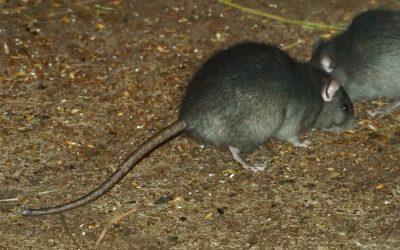 Tips en advies tegen ratten en muizen