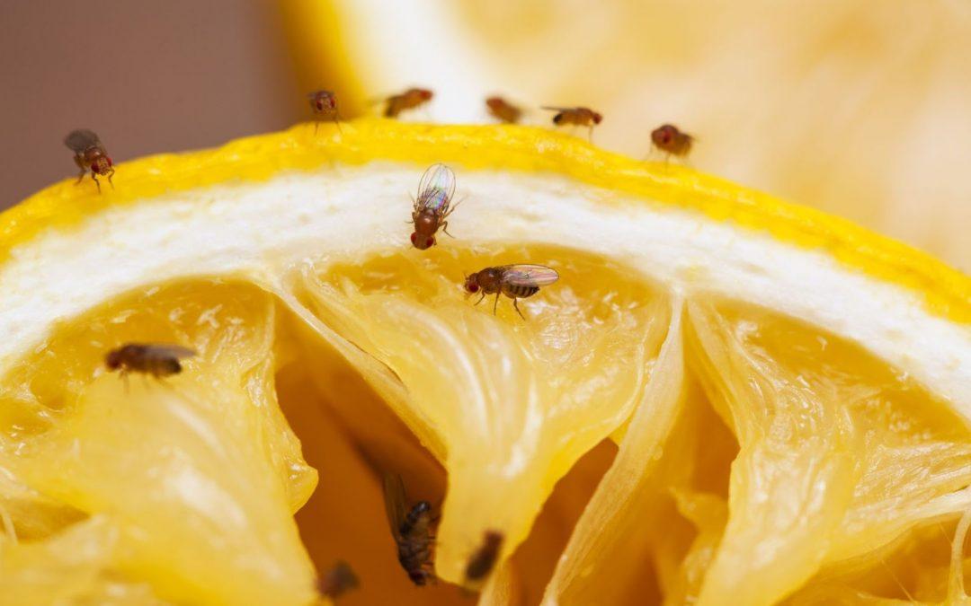 fruitvliegjes bestrijden