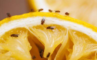 Hoe kan ik het best fruitvliegjes bestrijden?